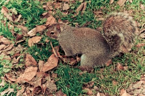 Hyde Park - Squirrel