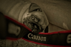 Canon vs Patsy The Pug
