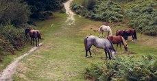 Herd of wild horses - new forest