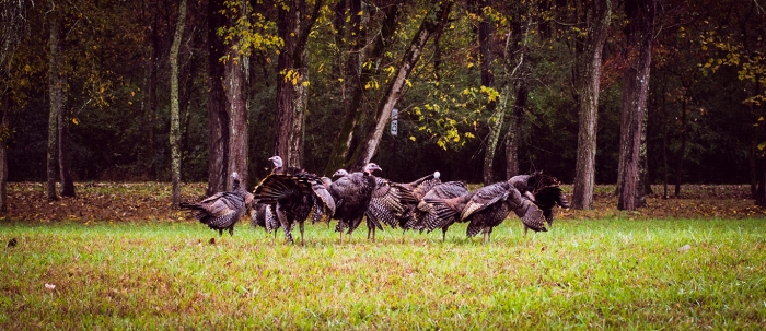 Gobble Gobble... they look tasty